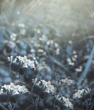 Flowers forest. Floral blue beautiful background. White flowers bloom in a clearing in the sunshine at sunset on a summer day. Stock Photography