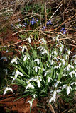 Flowers forest, snowdrops white. Snowdrops, white flowers on the forest floor.Bulbous Eurasian plants of the genus Galanthus stock images