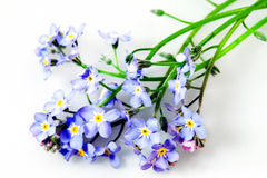 Flowers forget-me-not Royalty Free Stock Photography