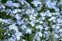 Flowers forget-me-not Stock Photography