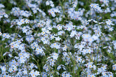 Flowers forget-me-not Royalty Free Stock Image