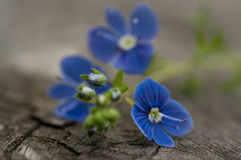Flowers of forget-me-not close-up Royalty Free Stock Photo