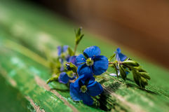 Flowers of forget-me-not close-up Stock Photo