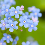 Flowers forget-me-not Stock Image
