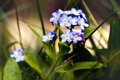 Flowers forget-me-nots. Closeup of blue flowers forget-me-nots on the green meadow in the beutiful warm spring day Royalty Free Stock Image
