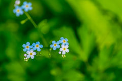 Flowers forget-me-nots Stock Photography