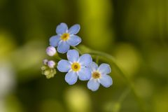 Flowers forget me staple. In nature park Meinerswijk in Arnhem, Netherlands Stock Photography