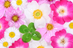 Flowers and four-leaf clover royalty free stock photos
