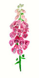 Flowers of foxgloves Royalty Free Stock Photography