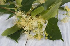 Flowers fragrant linden trees Stock Image