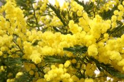 Flowers of fragrant yellow mimosa Stock Photography