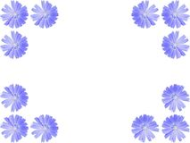 Flowers frame from blue Cichorium intybus, chicory Royalty Free Stock Photography