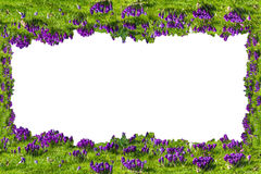Flowers frame; with crocuses on white background. Stock Photo