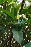 Flowers of Frangipani on a green bush. royalty free stock images