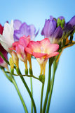 Flowers of freesia on a blue background Stock Image
