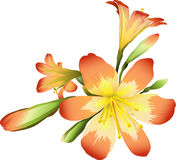 Flowers freesia (vector) Stock Photos