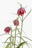 Flowers of the Fritillaria meleagris. Close up of flowers of the Fritillaria meleagris Royalty Free Stock Images