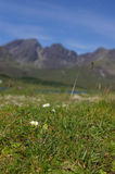 Flowers in front of cuillin. Two small yellow and white flowers in front of the cuillin mountains on the isle of skye in Scotland royalty free stock photos