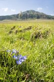 Flowers in front of mountain. Gentiana thunbergii flowers on grassland in front of mountain in Aso, Kumamoto Royalty Free Stock Photo