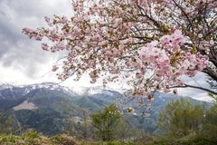 Flowers in front of mountain. Pale pink double cherry blossoms in front of mountain range in Otari-mura, Nagano Royalty Free Stock Images