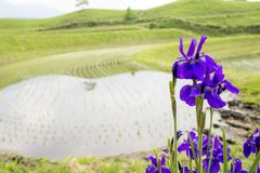 Flowers in front of paddy field. Purple siberian iris flowers blooming in front of paddy field Royalty Free Stock Image