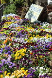 Flowers in front of perfumerie in Capri, Italy. Entrance to fragrance shop in Capri Italy. Field of hearts-ease flowers Stock Photography
