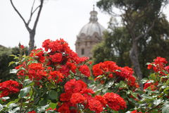 Flowers in front of Roman ruins. Bouganvilla flowers in front of ruins in Rome, Italy Royalty Free Stock Photography