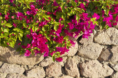 Flowers in front of stone wall Stock Photography
