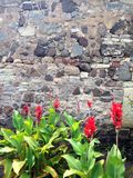 Flowers in front of a stone wall. Red flowers Royalty Free Stock Photography
