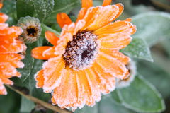 Flowers with Frost Stock Photo