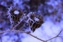 Flowers in frost in winter. Frosty flowers in the winter Royalty Free Stock Photography