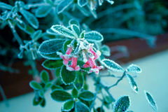 Flowers. Frosted flowers in the frosty morning Royalty Free Stock Photos