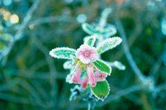 Flowers. Frosted flowers in the frosty morning Stock Photos