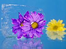 Flowers Frozen in Ice Stock Image