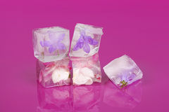 Flowers frozen in ice cubes. Royalty Free Stock Image