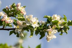 Flowers on a fruit tree in spring royalty free stock images