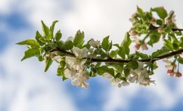 Flowers on a fruit tree in spring royalty free stock image