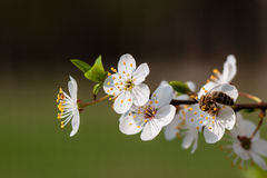 Flowers fruit trees. Royalty Free Stock Images