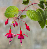 Flowers Fuchsia. Bright, beautiful flowers Fuchsia on a light background Royalty Free Stock Images