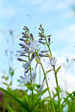 Flowers - Funcia. Purple flowers Hosts against the blue sky Royalty Free Stock Photo