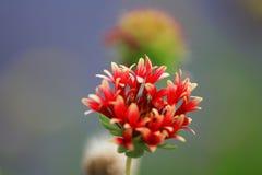 Flowers Gaillardia. Stock Image