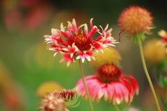 Flowers Gaillardia. Stock Photo