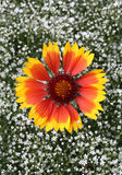Flowers gaillardia and gypsophila. Royalty Free Stock Image