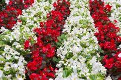 Flowers in the garden. Flower carpet in the garden Stock Photography