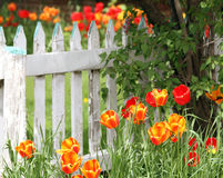 Flowers in the garden. Colorful tuilp flowers in the garden wth vintage white fence Stock Photo