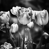 Flowers in the garden. Artistic look in black and white. Royalty Free Stock Images