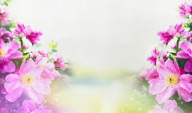 Flowers garden background with close up of pink peonies Royalty Free Stock Image