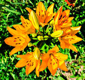Flowers. Garden flowers. bright orange Lily Stock Photos
