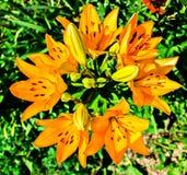 Flowers. Garden flowers. bright orange Lily stock photos