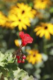 Flowers in the garden, Canada Royalty Free Stock Photography